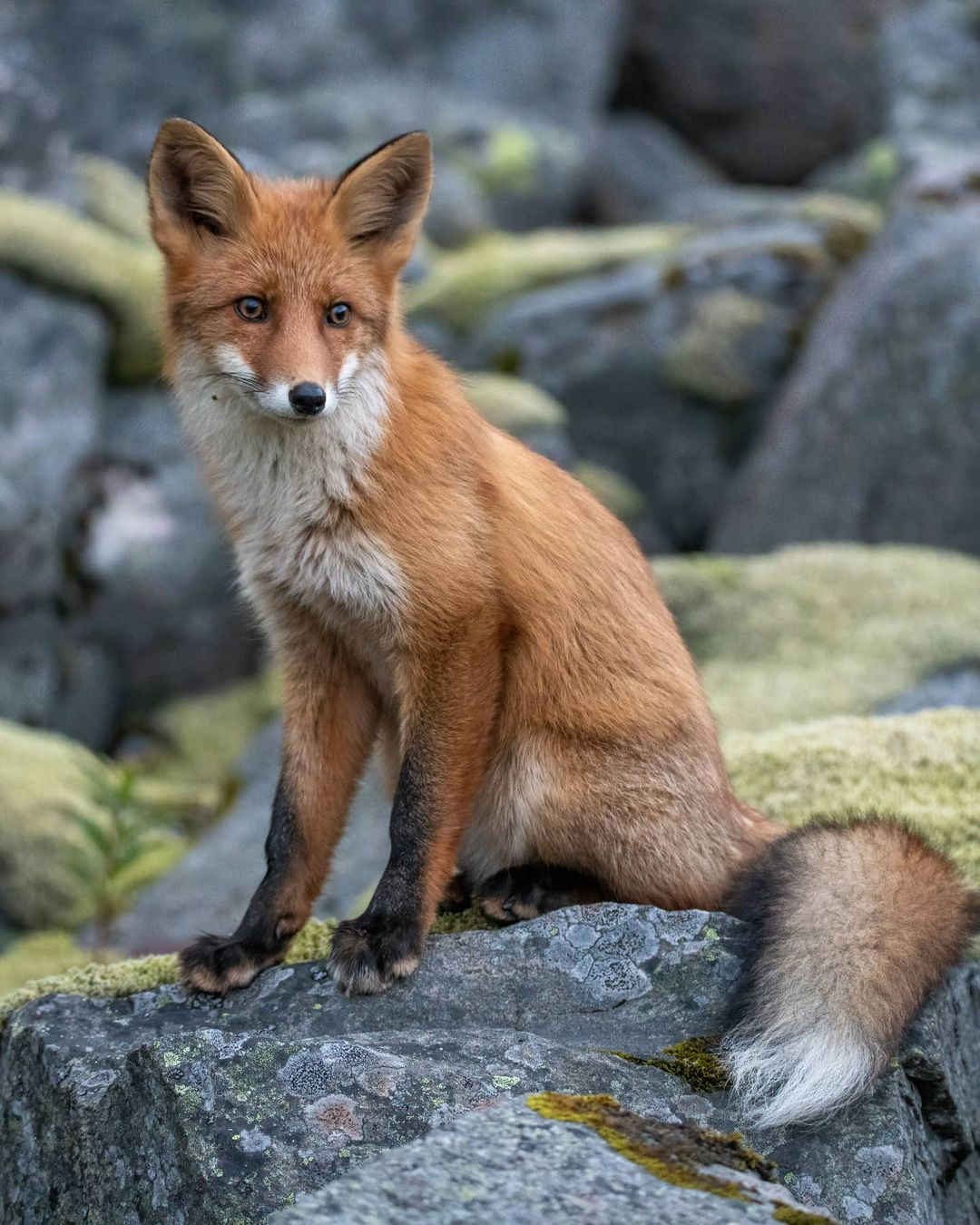 Curioso zorro interrumpe una sesión de fotos y posa para llevarse toda la atención