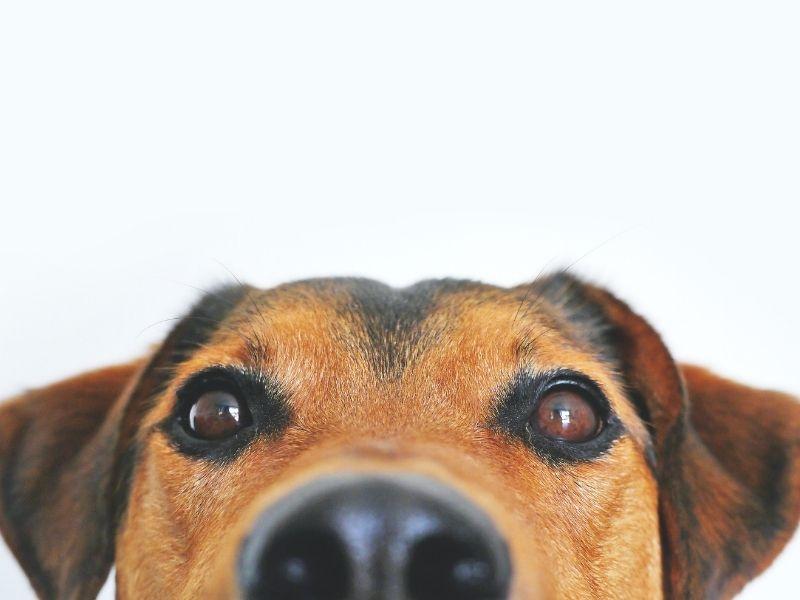 Los perros podrían ver TV con esta nueva tecnología